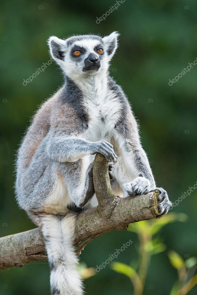 Portrait of ring-tailed Madagascar lemur at smooth background