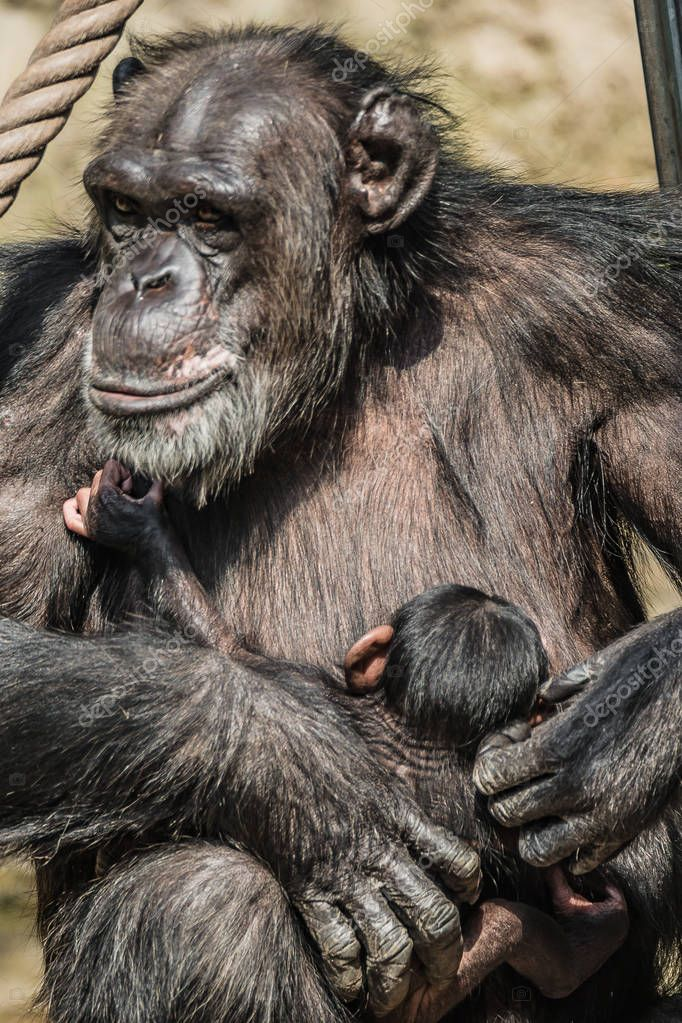 Portrait of mother Chimpanzee with her funny small baby