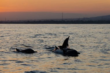 Jumping Dolphin at Lovina Beach