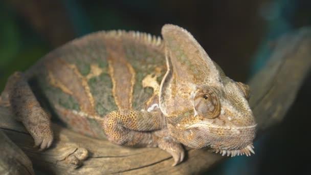 Datailní pohled chameleon sedí na větvi.