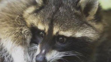 Raccoon licking itself in petting zoo.