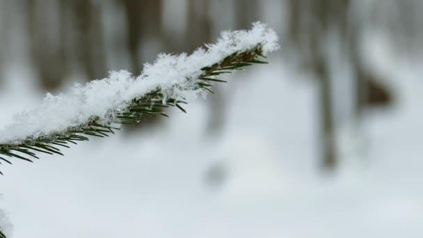 Větvička smrku pokrytá sněhem v zimním lese a nohama lyžaře