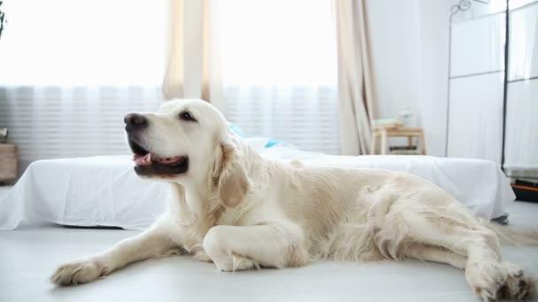 Leben von Haustieren in der Familie. Der Golden Retriever ruht auf dem Boden. die Kinder im Hintergrund amüsieren sich auf dem Bett.