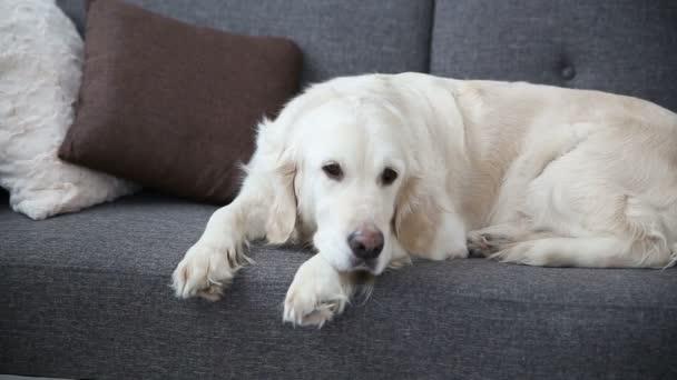 život domácích mazlíčků v rodině. Krásný zlatý retrívr odpočívá na gauči. osamělost v očekávání hostitelů.