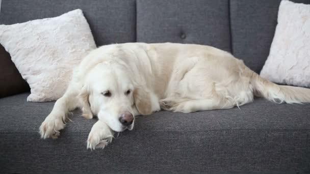 Leben von Haustieren in der Familie. Ein schöner Golden Retriever ruht auf der Couch. Einsamkeit in Erwartung der Gastgeber.
