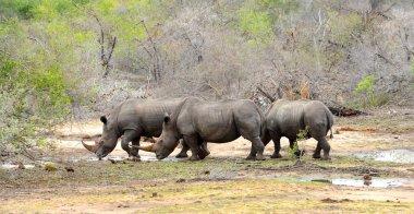 Three Rhinoceros drinking water