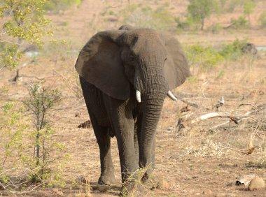 Elaphant in Kruger National Park