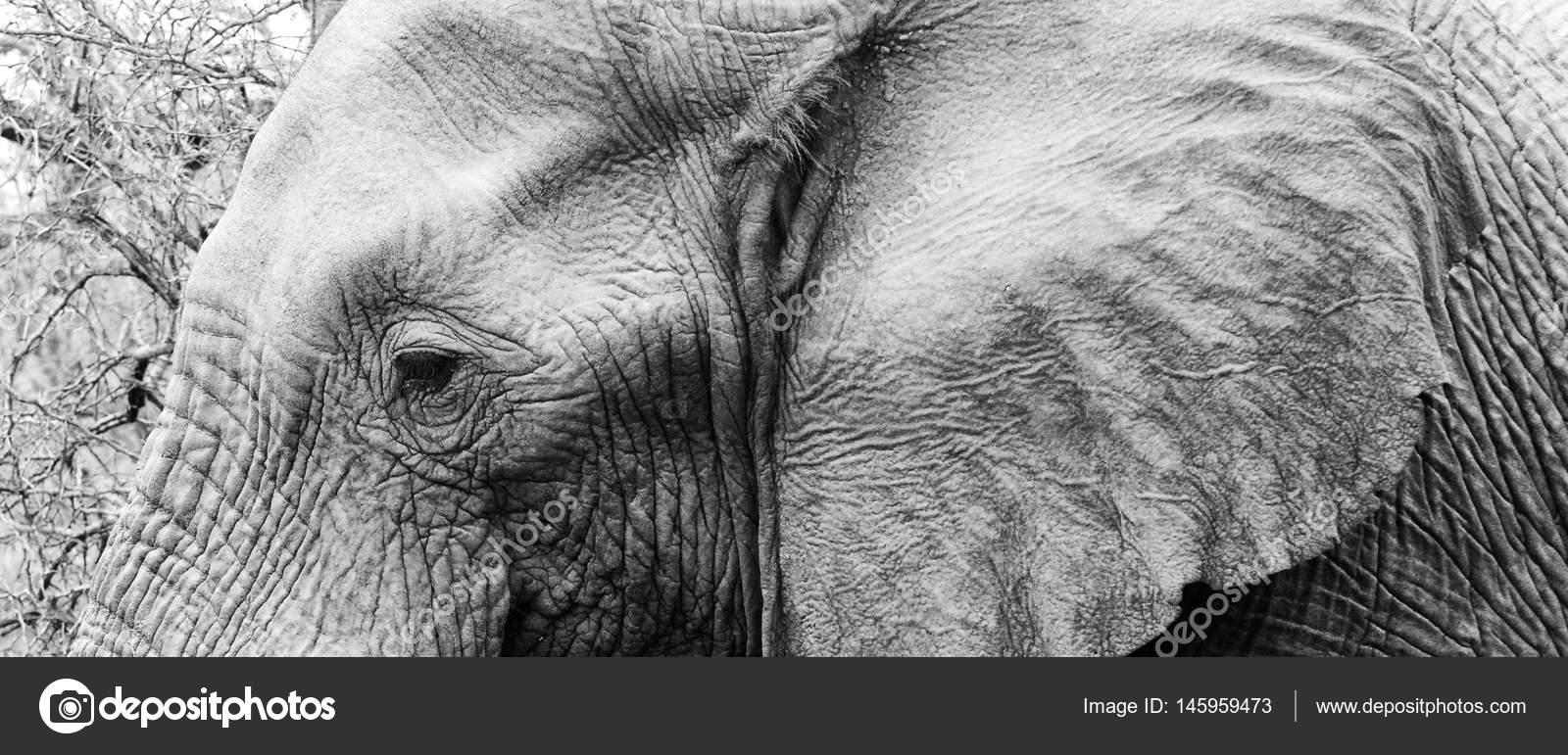 Tête Déléphant Noir Et Blanc Photographie Hhltdave5