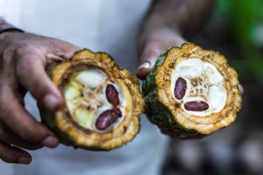 Fresh Cocoa fruit in farmers hands.