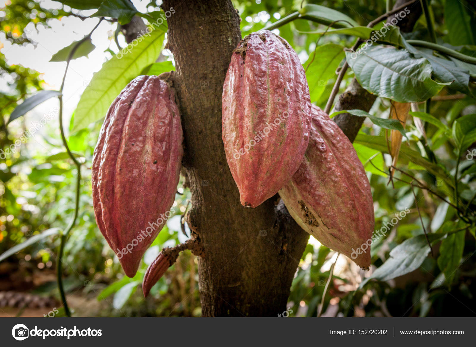 how to eat cocoa fruit