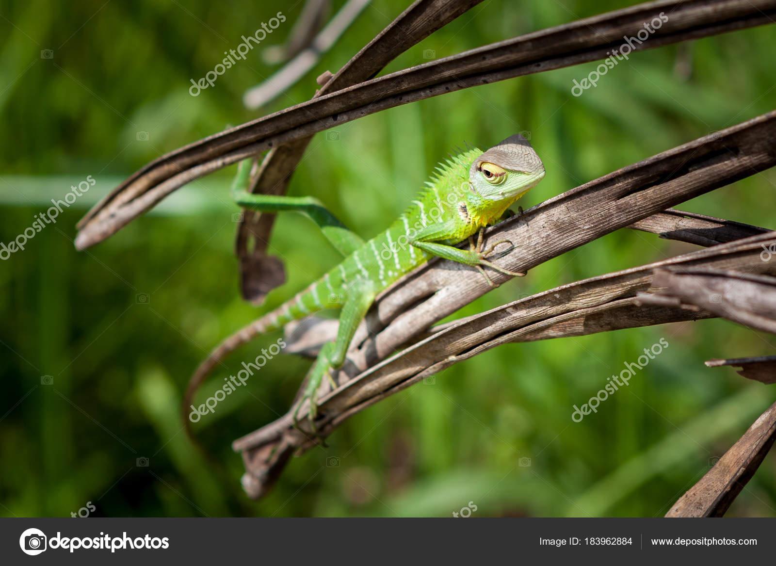 Lagarto Verde Relaxado Em Uma Grama Closeup Lindo Animal