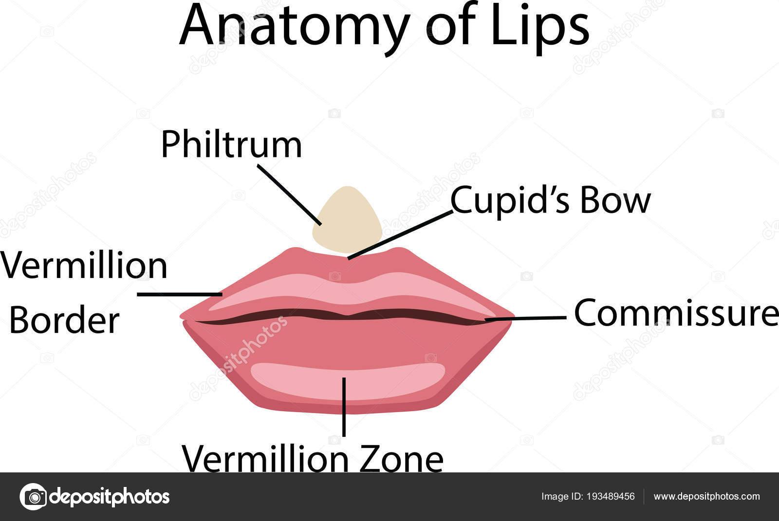 Anatomy of lips, vector illustration — Stock Vector © bemoll #193489456