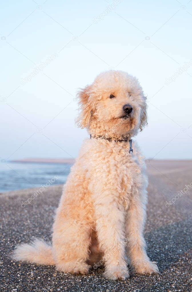 Goldendoodle dog sitting outside
