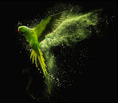 Flying green parrot Alexandrine parakeet with colored powder clouds. Isolated on black background stock vector