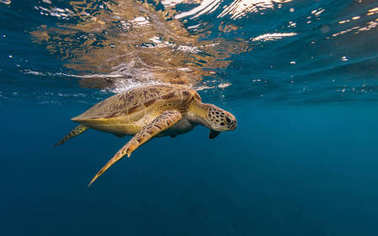 Hawksbill turtle trying to breath.