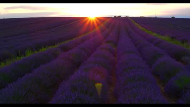 Aerial view of beautiful rows of blooming lavender field