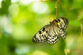 Beautiful butterfly Paper Kite, Idea leuconoe in tropical forest