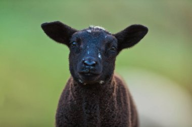 Young black lamb portrait on pasture, early morning in spring.