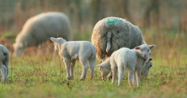 Roztomilý mladý jehňata na pastvině, brzy ráno na jaře.