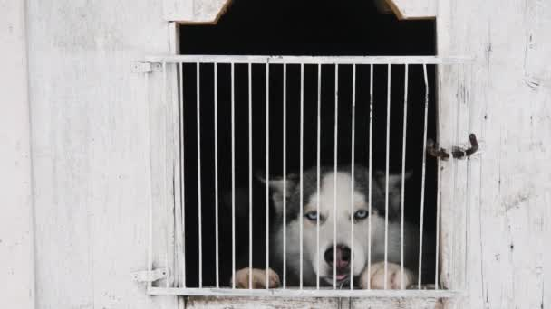 Cute siberian husky in the cage