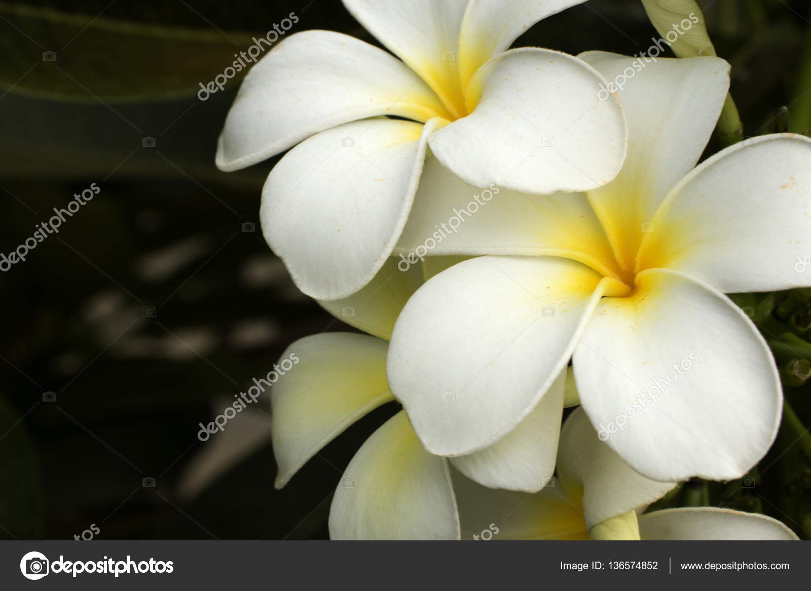 White plumeria flowers stock photo carrrot 136574852 five petal white flowers frangipani plumeria with yellow center on the green leaf background close up selective focus photo by carrrot mightylinksfo