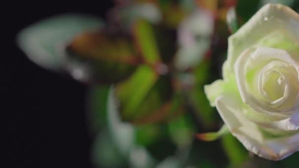 Krásná bílá růže květiny na tmavém pozadí