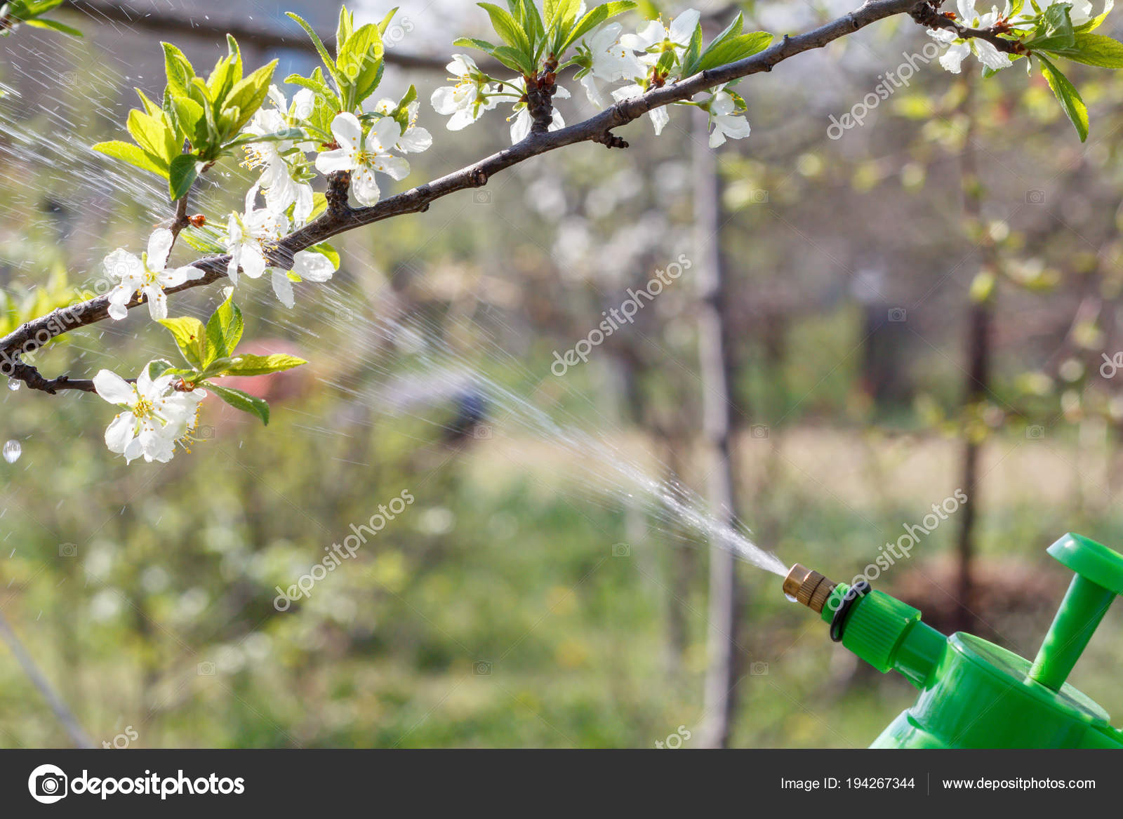 Farmer Sprinkling Water Solution Branches Pump Tree White Flowers