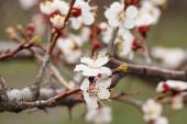Větve meruňky v období jarního květu s rozmazaným sadem na pozadí. Mělká hloubka pole. Selektivní zaměření na květiny.