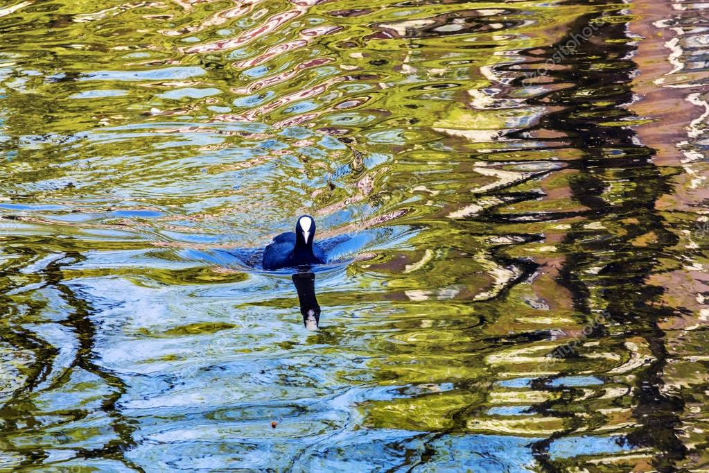 European Coot Duck Reflection Singel Canal Amsterdam Holland Netherlands