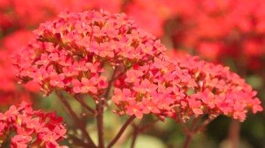 Kalanchoe okrasné květiny syté červené foukané ve větru, vysokým rozlišením filmový klip stopáže