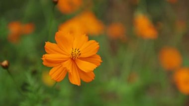 Kosmos bipannatus kvete okrasná rostlina z čeledi hvězdnicovité v plném květu zelené listoví zázemí blízko se makro HD filmový klip stopáže. Oranžová