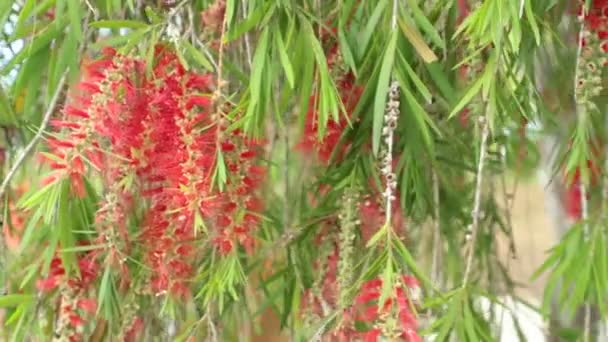 Depositphotos_187789166 Stock Video Red Flowers Foliage Weeping Willow