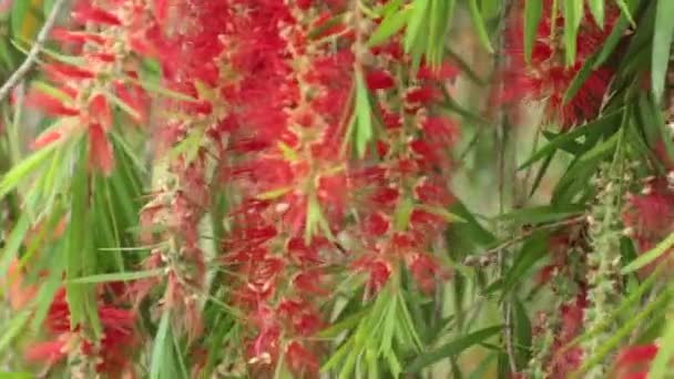 Depositphotos_187789320 Stock Video Red Flowers Foliage Weeping Willow