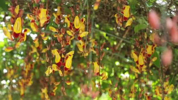 Thunbergia mysorensis, také nazýván Mysore trumpetvine nebo indické hodiny révy, s vysokým rozlišením filmový klip stopáže. Pergola, květenství