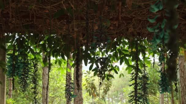 Květenství liány Strongylodon macrobotrys běžně známé jako jade révy, smaragdově révy nebo tyrkysové jade révy, s vysokým rozlišením filmový klip stopáže. Tayabak