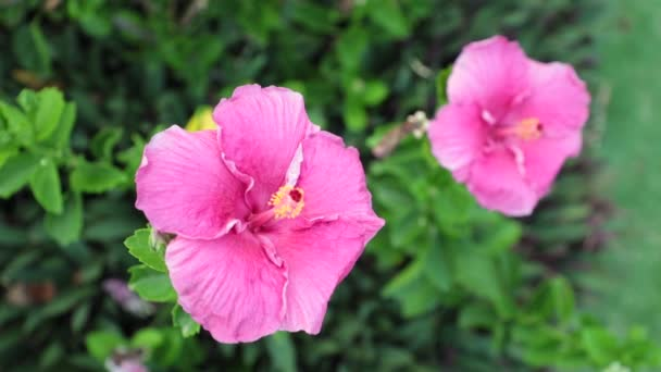 Hibiscus rosa-sinensis also none as chinese hibiscus, hawaiian hibiscus, and shoeblack plant from the mallow family in high definition stock footage.