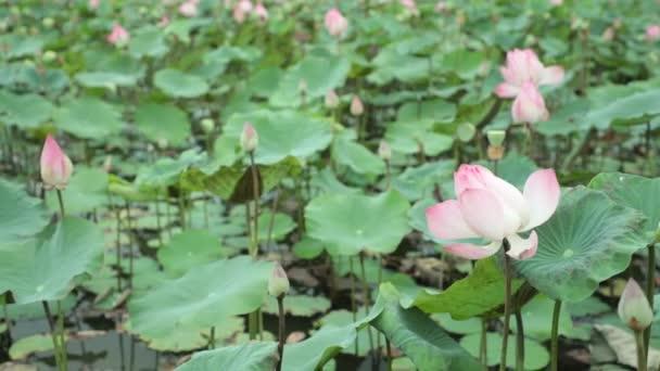 Tavirózsák nymphaeaceae lily Pond, és egy zöld lombok háttér nagyfelbontású stock footage.