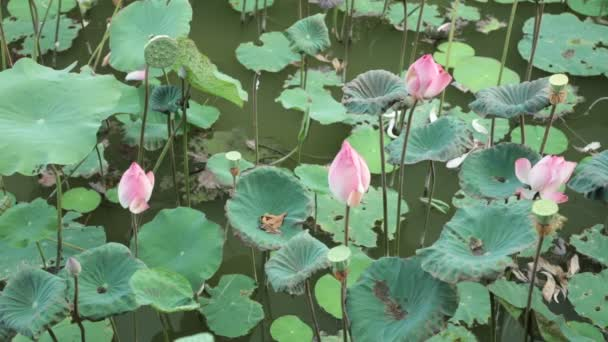 Water Lilies Nymphaeaceae In A Lily Pond, With A Green Foliage Background  High Definition Stock Footage.u2013 Stock Footage