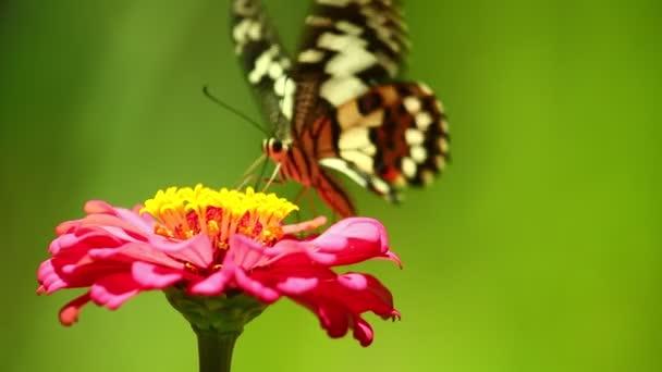 Lepkefarkú pillangó pillangó, citrompillangó, lime fecskefarkú, repül és táplálkozik egy gyönyörű rózsaszín cinnia virág, majd elrepül.