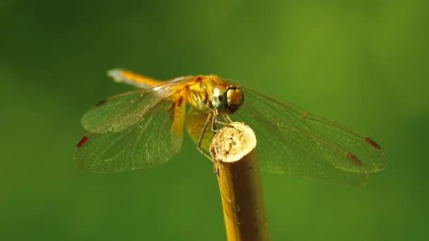 Gelbe geflügelte Darter Libelle aus der Nähe isoliert im Freien in freier Wildbahn mit bokeh grünen Naturkulisse. Makroaufnahmen von Insekten.
