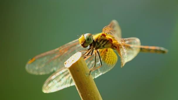 Sárga szárnyú darter szitakötő közel elszigetelt szabadban a vadonban bokeh zöld természet háttér. Rovarok makrofelvételei.