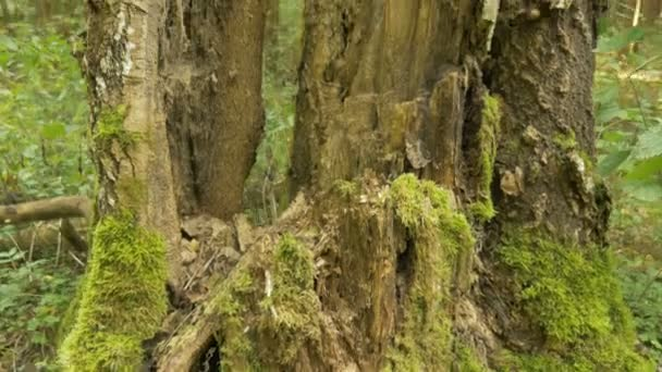 Mech na velké zlomený strom. Podzimního dne. Plynulý záběr