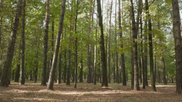 Forest of the pines. Autumn daytime. Smooth dolly shot