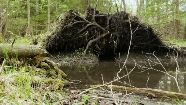 Kořen stromu v lese. Jemně a pomalu jezdec výstřel. Čisté a jasné denní