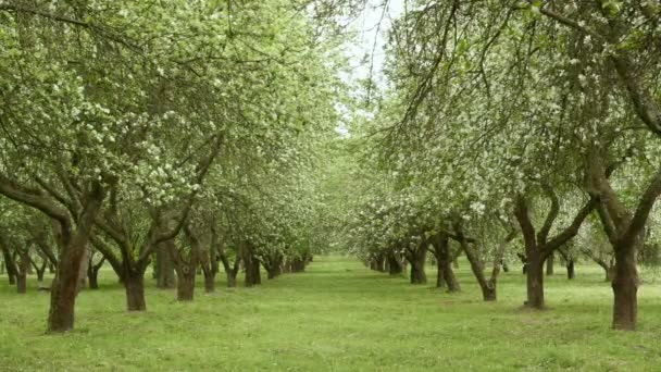 Apple tree alley a farm. Sima csúszik shot. Tiszta és világos nappali