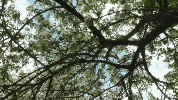 Horní větve jabloní. Čisté a jasné denní