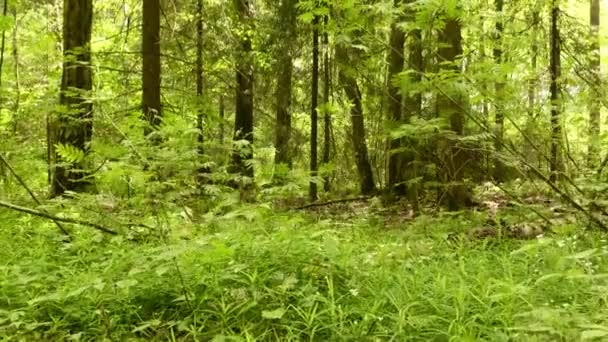 Erdő. Sima és lassú daru cam lövés. Tiszta és világos nappali