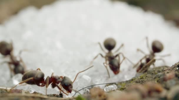 Extreme close-up of a red ant eating sugar crumbs in summer day, macro