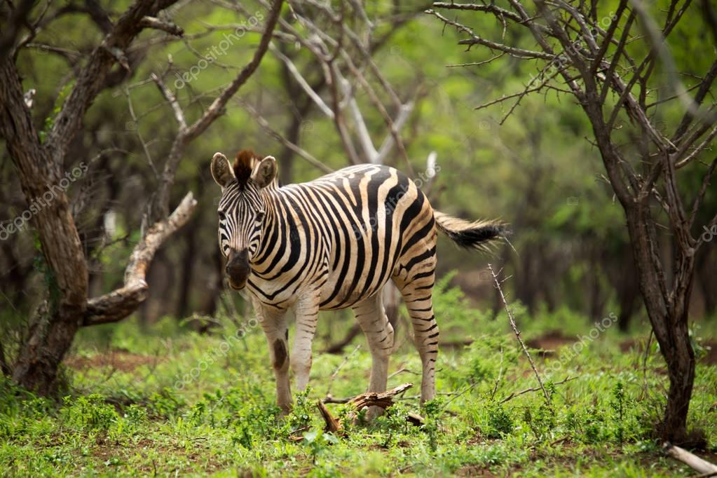 One young zebra standing in green foliage