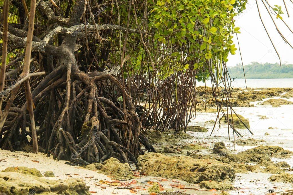 mangroves at havelock island